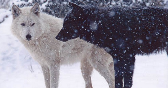 Борьба двух волков